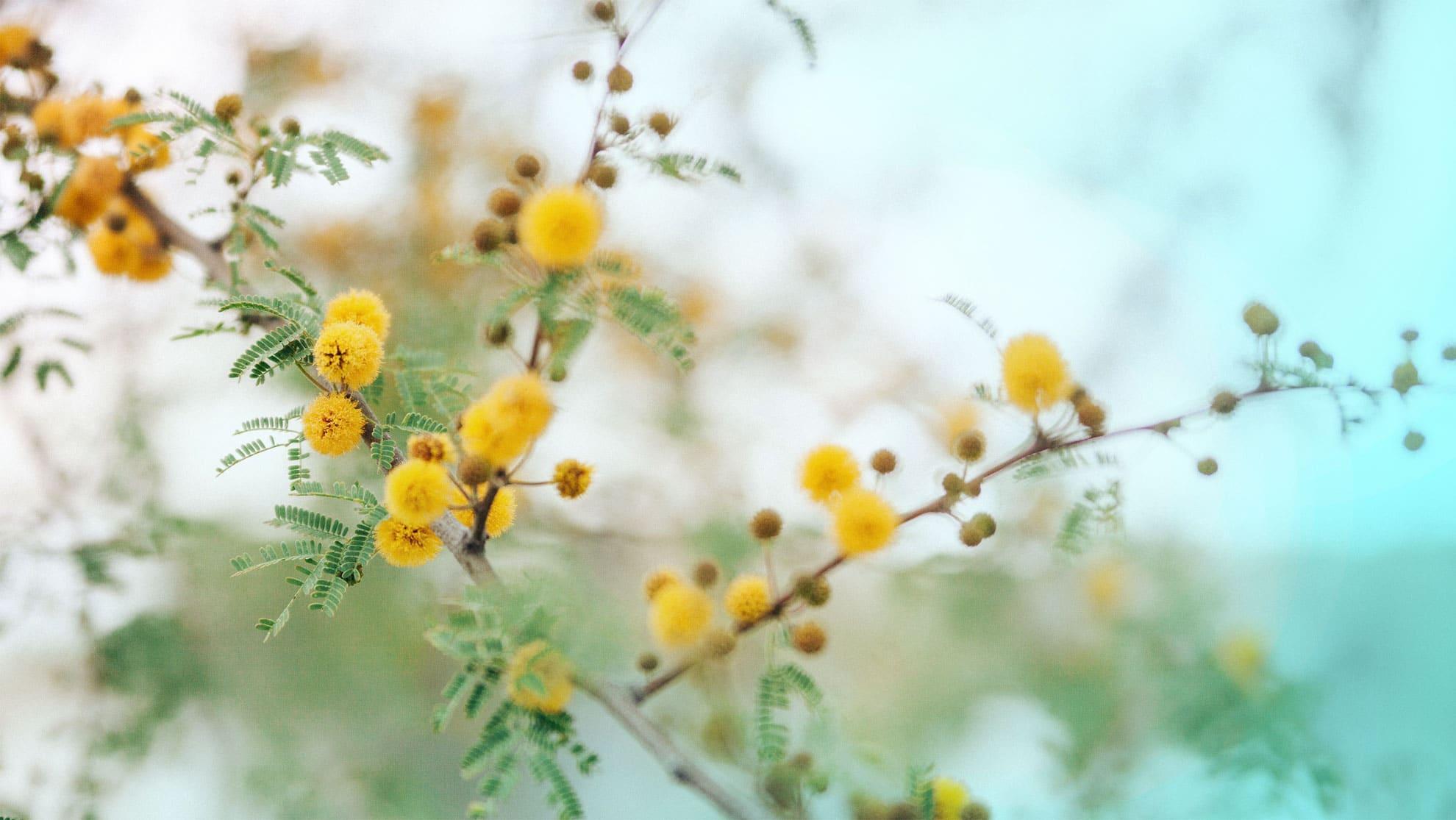 Nærbilde av akasieplanten i blomst